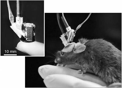 双光子显微镜的小鼠.北京大学分子医学研究所供图-我科学家成功研
